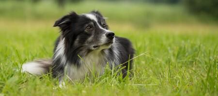 Ein Boder Collie liegt im Gras.