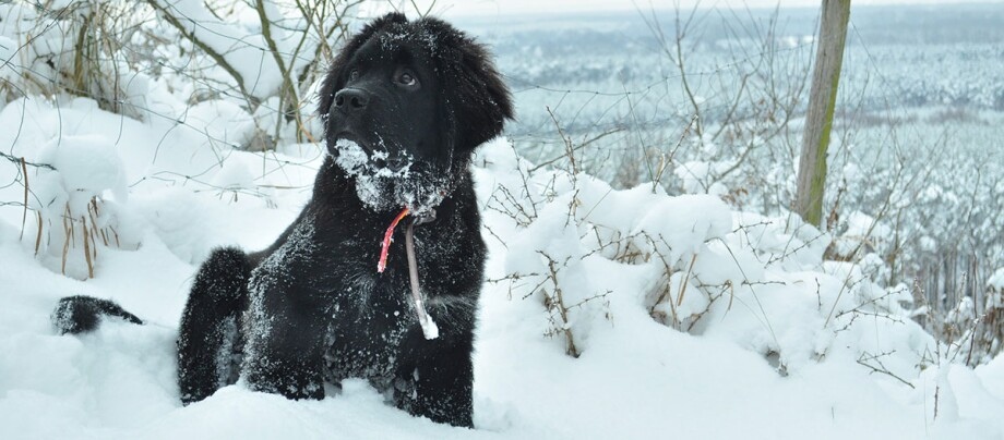 Ein Neufundländer sitzt im Schnee.