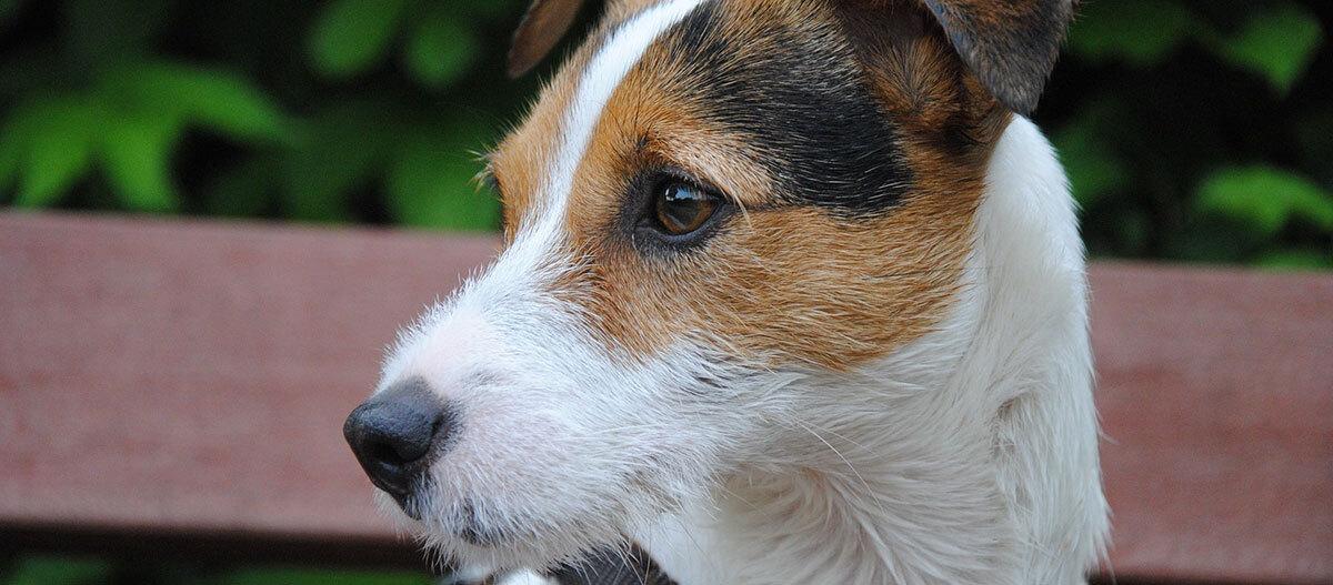 Parson Russel Terrier | Tiere, Hunde, Katzen