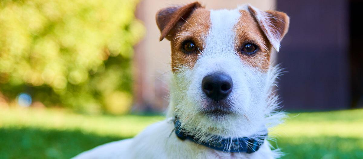 Ein Parson Russell Terrier schaut direkt in die Kamera.