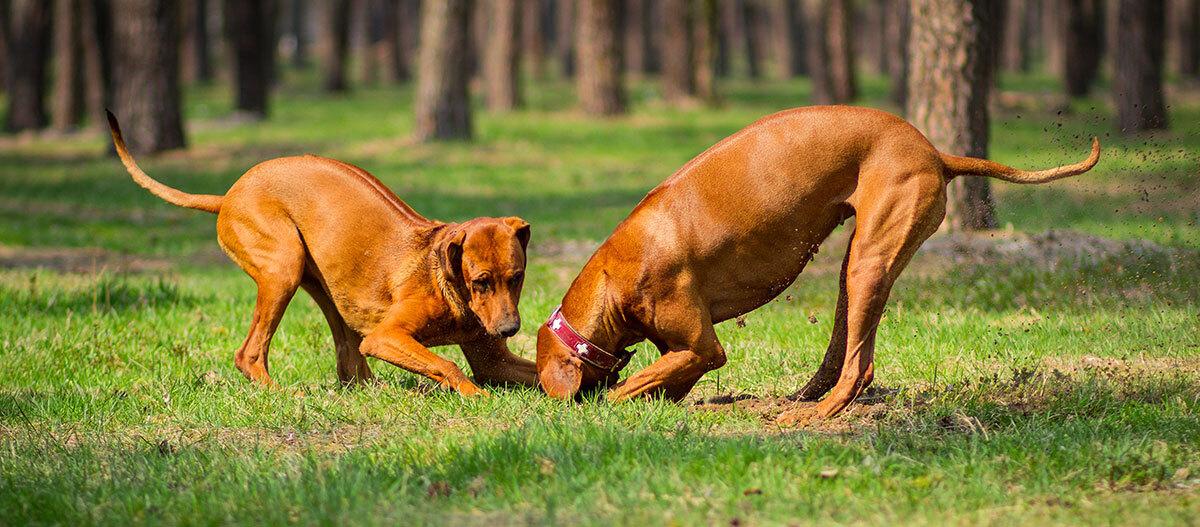 Zwei Hund spielen gemeinsam.