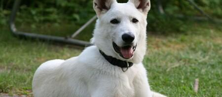Ein weißer Schäferhund liegt auf einer Wiese.