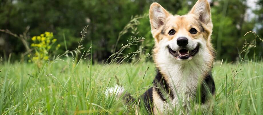 Ein Hund steht inmitten Gräsern.