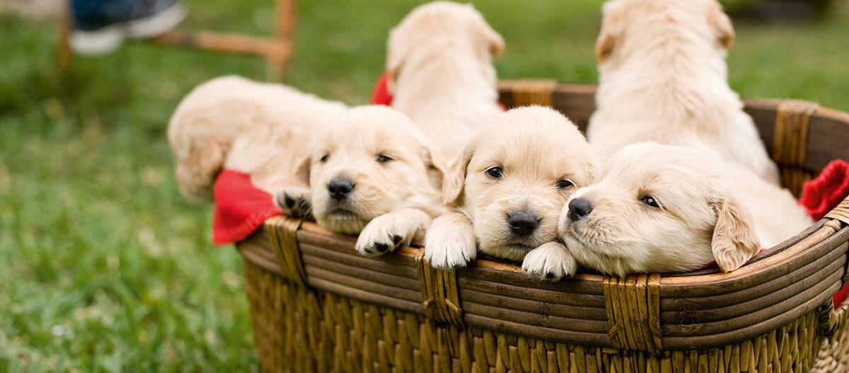 Welpen sitzen in einem Korb.