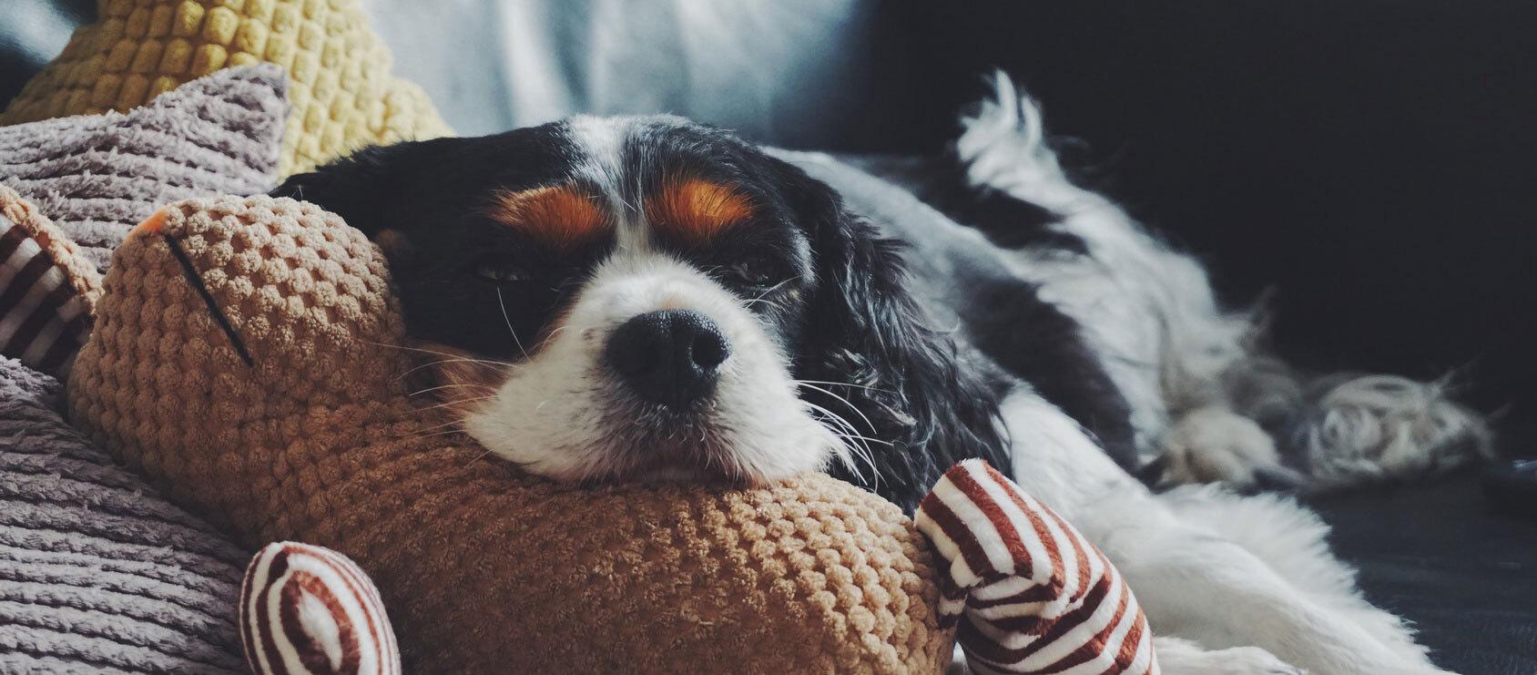 Ein Hund liegt entspannt auf dem Sofa.