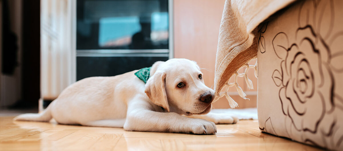 Labrador knabbert an Decke, Hund knabbert an Gegenständen