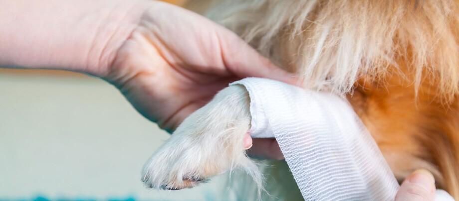 Hundepfote wird Verband angelegt, Verletzte Pfote wird verarztet