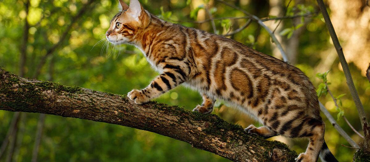 Eine Bengalkatze klettert auf einem Baumstamm.
