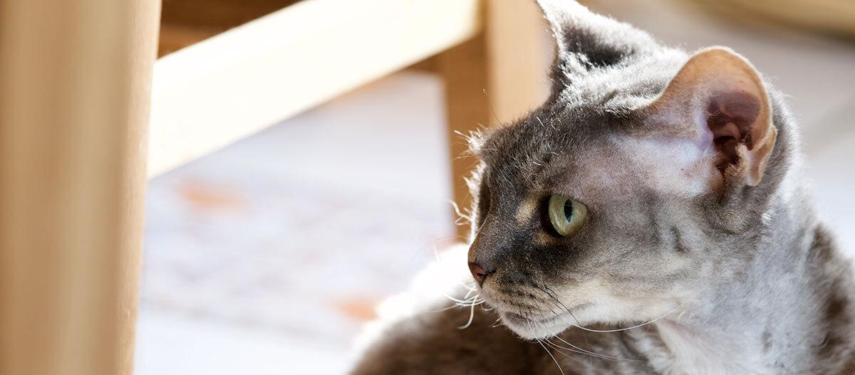 Eine Devon Rex Katze.