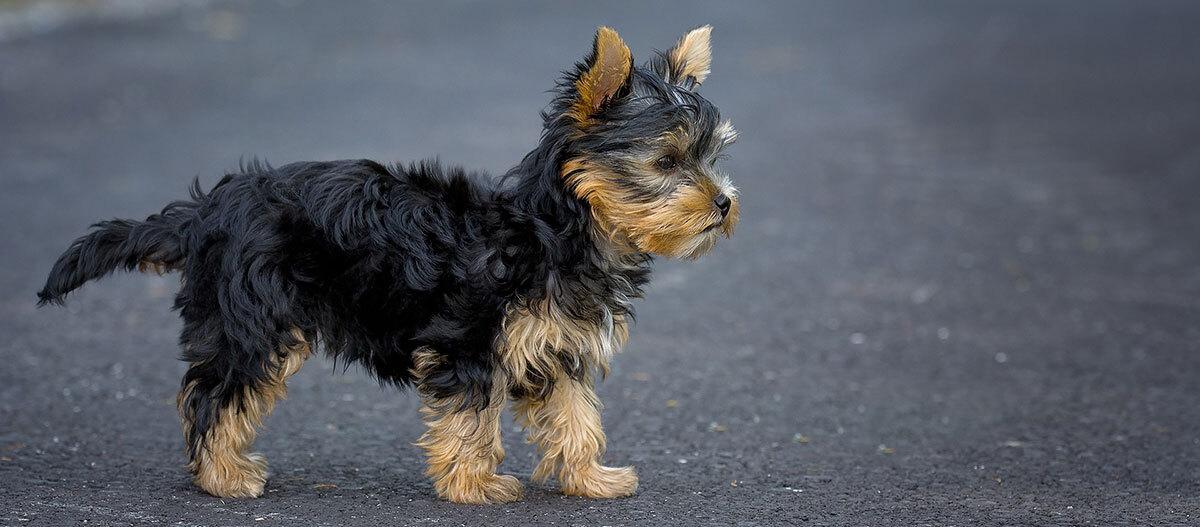 Ein Yorkshire Terrier steht auf Asphalt.