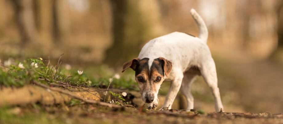 Ein Hund auf Erkundungstour durch den Wald