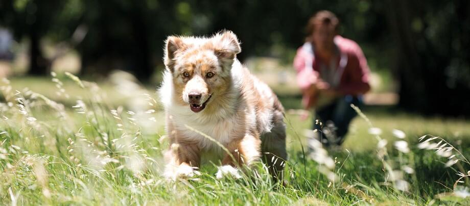 Australian Shepherd Hund rennt über eine grüne Wiese einem Spielzeug hinterher.