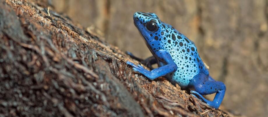 Ein blauer Frosch.