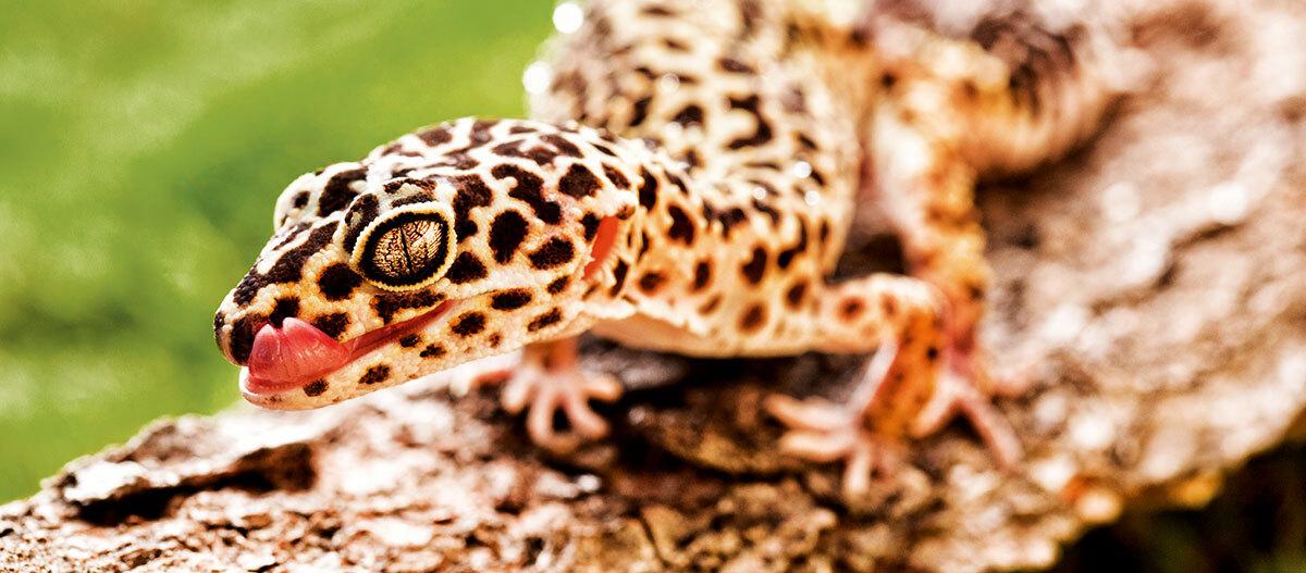 Ein Leopardengecko.