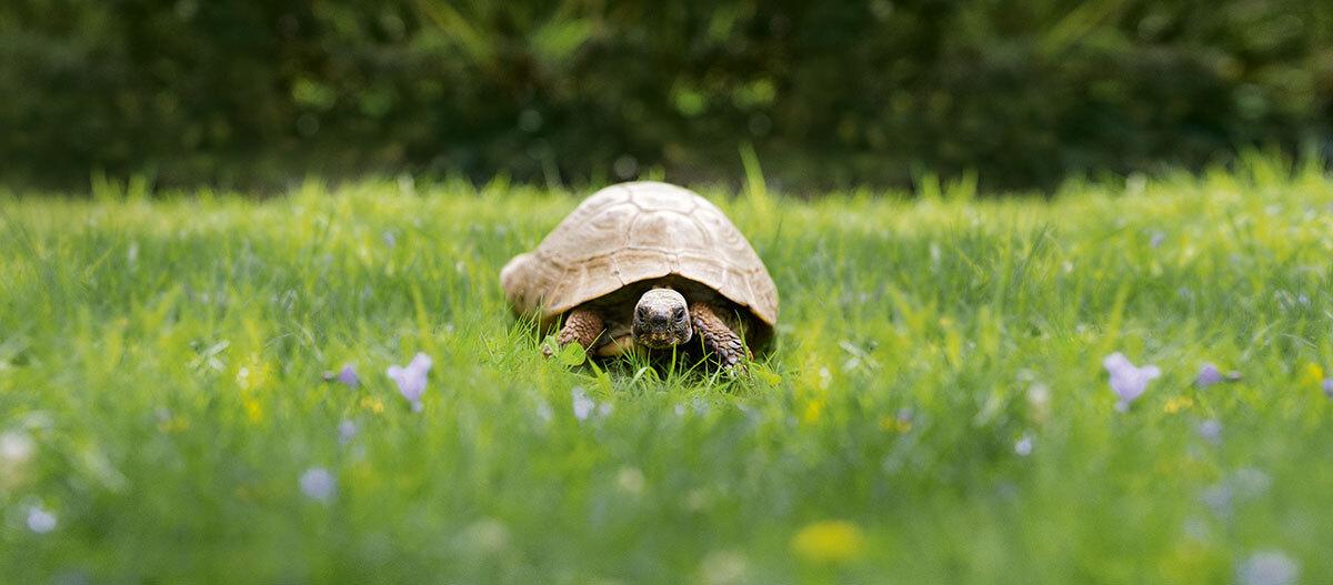 Eine Sildkröte läuft auf einer Wiese.