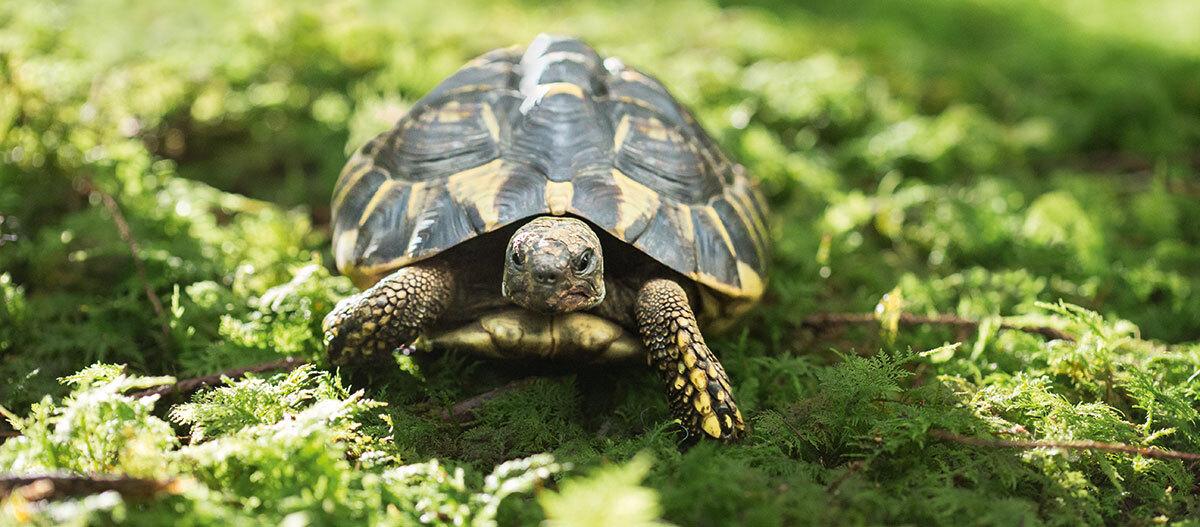Eine Schilkröte.