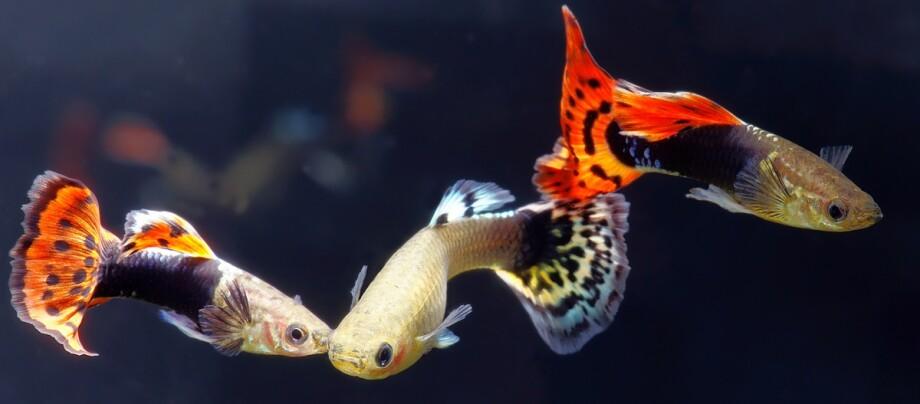 Mehrere Guppy Fische.