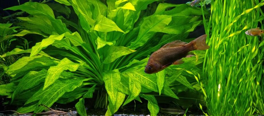 Aquariumspflanzen.