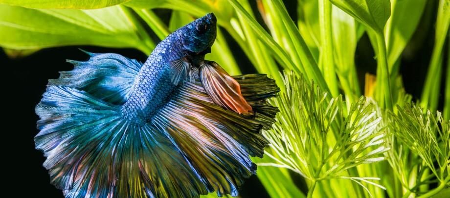 Eine Nahaufnahme eines Siamnesischen Kampffisches.