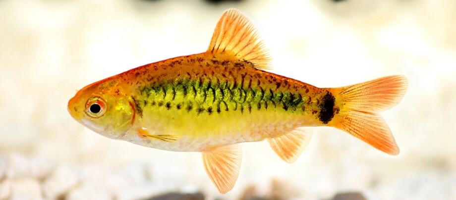 Eine Nahaufnahme eines orangegelben Zebrafisch.