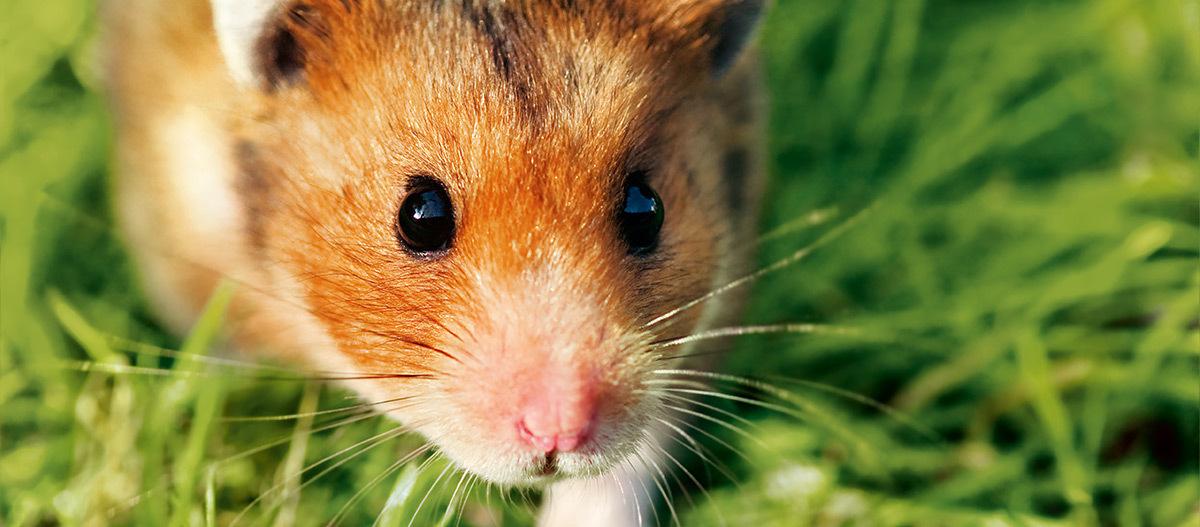 Eine Nahaufnahme eines Hamsters.