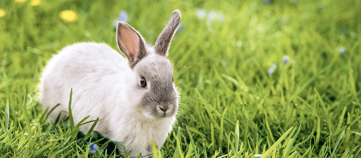 Ein hellgraues Kaninchen sitzt auf der Wiese.