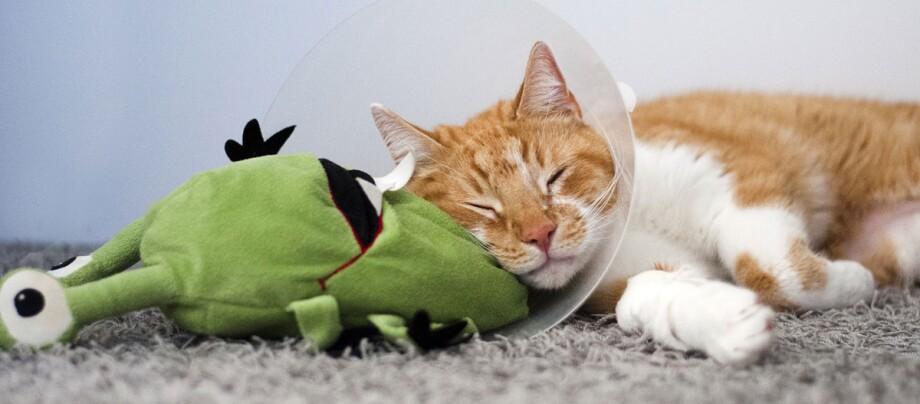 Eine Katze trägt eine Halskrause.