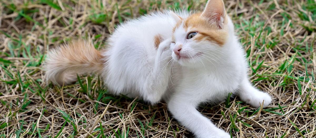 Eine Katze kratzt sich.
