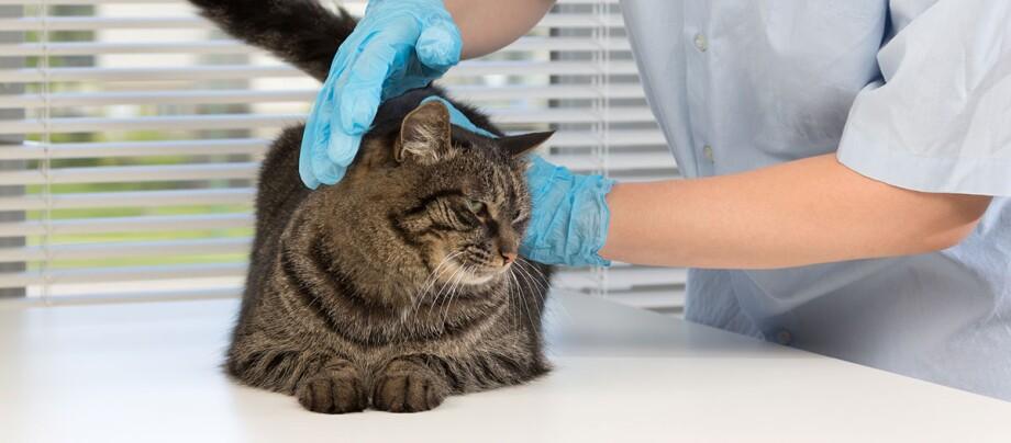 Eine Katze ist beim Tierarzt.