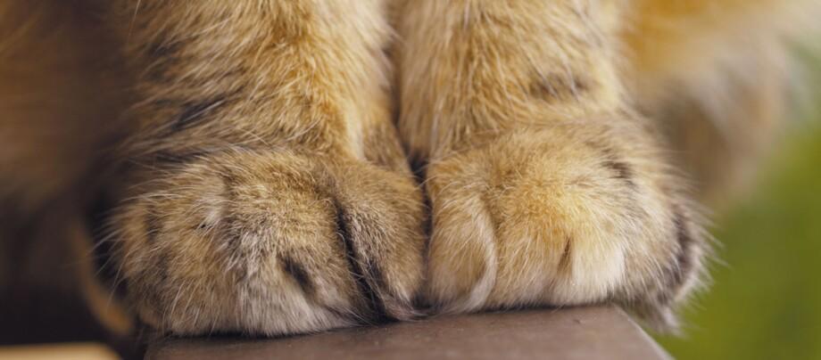Nahaufnahme von Katzenpfoten.