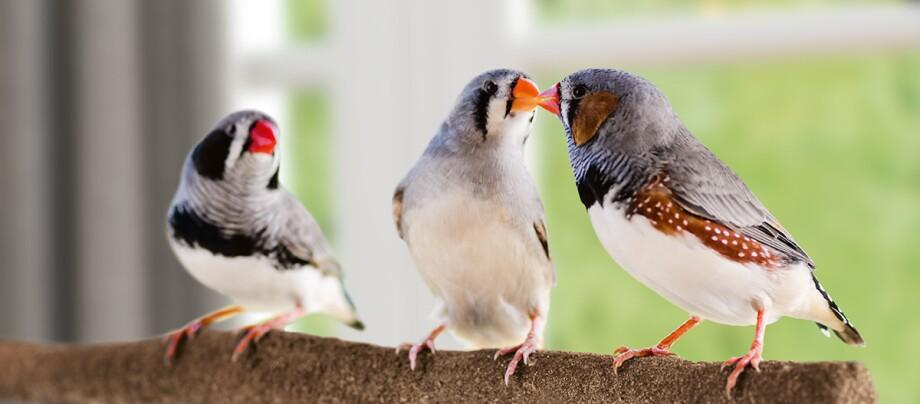Drei Vögel Zebrafinken sitzen auf einem Ast.