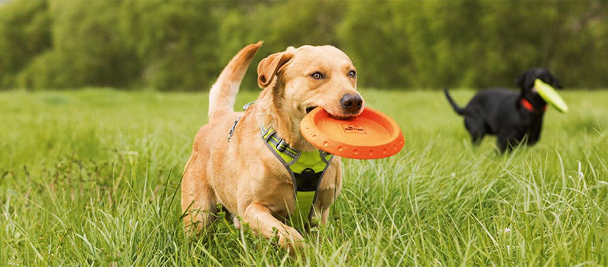 Ein Hund spielt mit einer Frisbee.