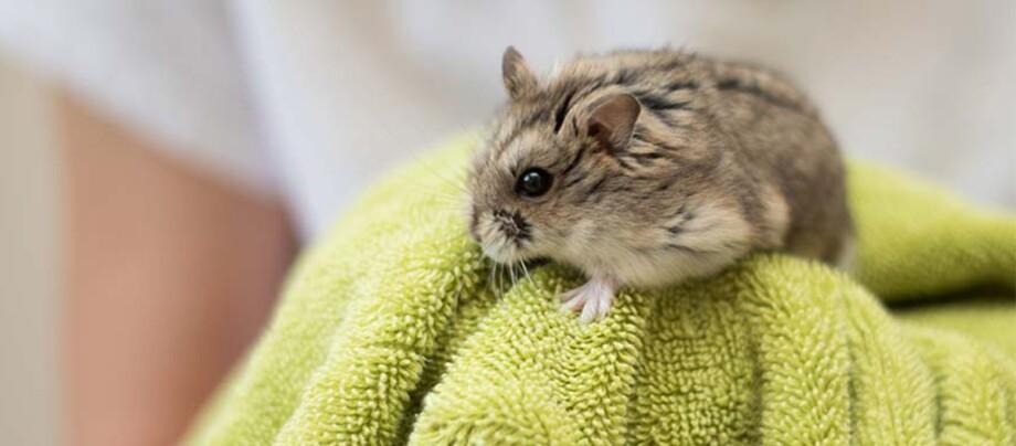 Ein kleiner Hamster sitzt auf einem Handtuch.