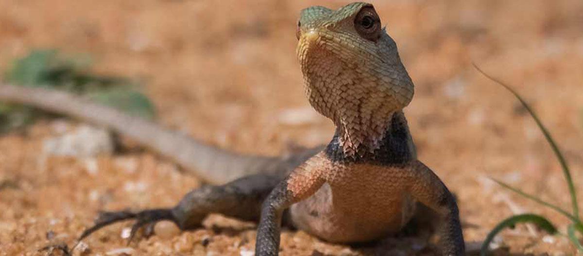 Eine Nahaufnahme eines Leguans.