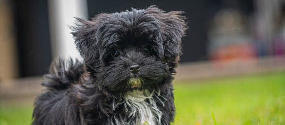 Kleiner schwarzer Bolonka Zwetna Hund