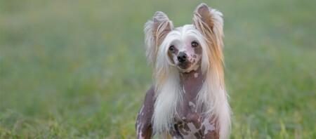 Kleiner Chinesischer Schopfhund Hund steht auf der Wiese