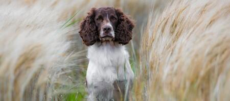 English Springer Spaniel Hund sitzt mitten im Maisfeld
