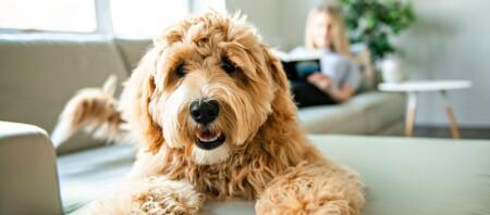 Golden Doodle Hund liegt auf der Couch