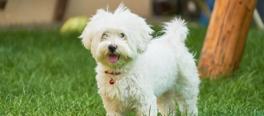 Havaneser Malteser Hund steht im Garten