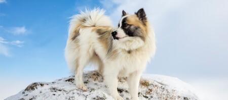 Islandhund steht auf einem kleinen Hügel