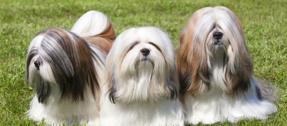 Drei Ihasa Apso Hunde stehen auf einer Wiese