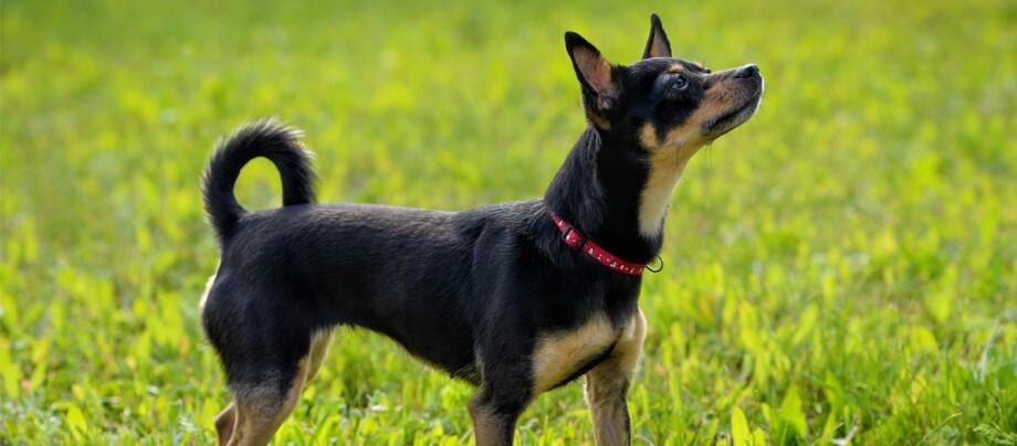 Russkiy Toy Hund mit roten Halsband steht auf einer Wiese