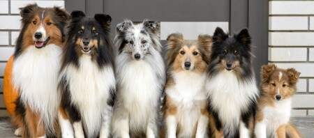 6 Shetland Sheepdog Hunde sitzen vor einer Tür