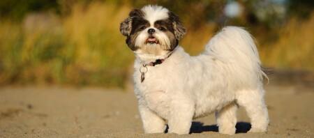 Shih Tzu Hund steht im Sand