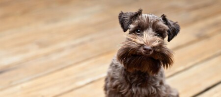 Hund mit Bart