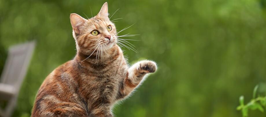 Eine Katze hebt die Pfote.