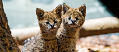 Zwei Serval Kitten.