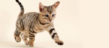 Ein Toyger-Kitten.