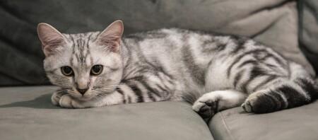 Ein American Shorthair Kitten liegt auf dem Sofa.