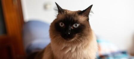 Ein Nahaufnahme einer Balinesen Katze.